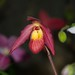 Phragmipedium Will Chantry