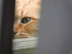 DSCN1891 (keepps) Tags: animal cat switzerland suisse schweiz fribourg