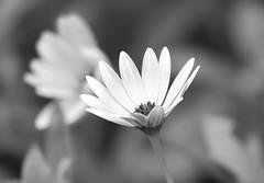 Who needs color ? (Eric Rincker Fotografie) Tags: bloemenfotografie bloemen bloem flowerphotography flowers flower blackandwhite blackwhite zwartwit closeupphotography closeupfotografie closeup details detail bokeh sony sonyrx sonyrx10 sonyrx10m4