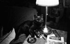 Shorty (neilsonabeel) Tags: cat animal pet blackcat film analogue lamp blackandwhite leicam6 leica zeiss biogon inside