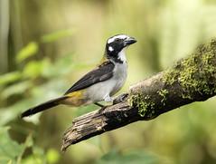015A4145 Black-winged Saltator (suebmtl) Tags: bird ecuador pichinchaprovince santadeo blackwingedsaltator saltatoratripennis saltator