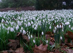 Photo of 2020 02 07 - Massed snowdrops