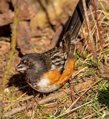 Spotted Towhee (Lindell Dillon) Tags: spottedtowhee sparrow bird birding nature winter oklahoma wildoklahoma