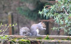 Squirrel (Arkensiel Photographs) Tags: squirrel
