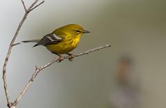 Pine Warbler (busville) Tags: passeriformes piwaaves parulidae pinewarbler setophagapinus hiltonheadisland sc usa