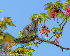 D50_1224 (davidmylesphotography) Tags: squirrel tree eating gray leaves branch