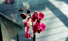 orchid (bluebird87) Tags: nikon f5 dx0 c41 epson v800 kodak ektar film flower lightroom orchid