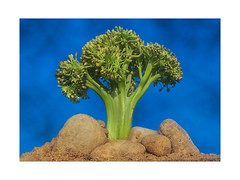Mt. Broccoli - MM - Theme-Vegetables (LOVE.OVER.LUST.) Tags: mm macromondays vegetables broccoli green tree mountain hill peak pebbles lonetree onetreehill macrolandscape macro tabletop conceptual outdoor sunlight sky clouds sundaylights food