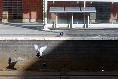 Fight or Flight (Miss Emma Gibbs) Tags: flying birds shadows england manchester shudehill pigeons