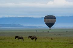 DSC00920p (hamad M) Tags: sonya7iii sonyalpha sony safari balloon 200mm600mm 200600 travel kenya zebra كينيا سفاري