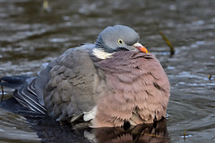 Wood Pigeon Titchwell RSPB Norfolk 1 (JohnMannPhoto) Tags: wood pigeon titchwell rspb norfolk