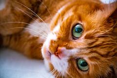 Timothy (Arutemu) Tags: cat feline animal pet kitty cute manualfocus minolta macro sony sonya7rmarkii sonya7rii ilcea7rii minoltamdzoom35135mmf3545 ねこ 猫 ネコ 動物 目 眼