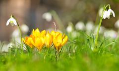 Sie leuchten im Licht (KaAuenwasser) Tags: schneeglöckchen krokusse krokus zier zierblumen zierpflanzen pflanzen februar frühling winter licht sonne sonnenschein wärme wiese park garten botanischergartenkarlsruhe botanischergarten karlsruhe gelb weis farben gräser gras boden jahreszeit nah makro schönheit schön fein zart zerbrechlich neu blütenblätter leuchtend