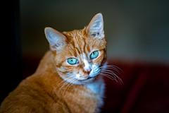 Timothy (Arutemu) Tags: cat feline portrait pet petportrait animal cute kitty ねこ 猫 sony sonya7rii sonya7rmarkii minolta135mmf2md 動物 ぼけ ボケ 暈け dof bokeh