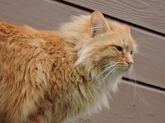 DSCN1894 (keepps) Tags: animal cat switzerland suisse schweiz fribourg