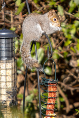 DG8A3894 (robertroyer62538) Tags: hiddenlakes2 squirrel