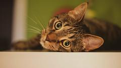 Mittens (JaaniicB) Tags: canon eos 5d mk1 original classic cat domestic animal tail stripes matroskin mittens cimdiņš nifty fifty 50mm f18 stm