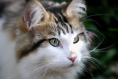 Monday Face (SpitMcGee) Tags: katze cat pet nichtmeinekatze notmycat mondayface kurttucholsky spitmcgee