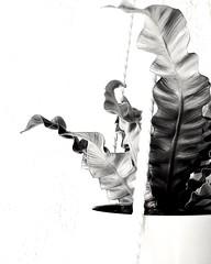 In black and white (MDawny72) Tags: blackandwhite bwphotography bw contrast shape leaves crispywavefern february 2020inphotos plantmom plantlove plantaddict crazyplantlady planterino garderino greenthumb