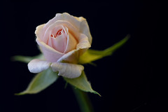 Rose 2020-02-16 (5D4_0091) (ajhaysom) Tags: rose flower greenvale canon100mmlmacro 100xthe2020edition 100x2020 melbourne australia canoneos5dmkiv image20100