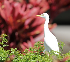 EOS 5D Mark IV4779 Must be viewed large. Cattle Egret. Kaanapali, Maui Hawaii. (E.W. Smit Wildlife) Tags: cattleegret egret wildanimals wildanimal animal animals tourist tourists telephotolens unitedstatesofamerica usa outdoor outdoors bird birds ocean park parks avian canon nature wildlife ef500mmf4lisii ef500mmf4lisiiusm canonef500mmf4lisiiusm supertelephotolens island pacificocean hawaii mauihawaii maui mauimarriottsoceanclub kaanapali kaanapalimaui canoneos5dmarkiv canon5dmarkiv canonef500mmf4lisii canonef14xextenderiii canonef14xiii eos5dmarkiv canonef500mmf4lisiiusm14xiii ef500mmf4lisii14xiii ef500mmf4lisiiusm14xiii 14xiii 5dmarkiv canonefextender14xiii manfrottomonopod monopod manfrotto