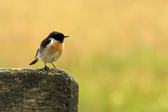 Stonechat (Airwolfhound) Tags: holiday anglesey stonechat