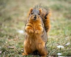 Squirrel Portrait - in exchange for peanuts (pulper) Tags: squirrel redsquirrel foxsquirrel animalportrait portrait