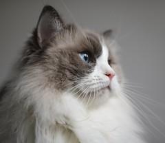 All hail king Caspar (caspar.and.ellie) Tags: canon canon750d sigma35mm whitecat catphotography cat cats pets pet petphotography closeup blueeyes cute naturallight canonphotography