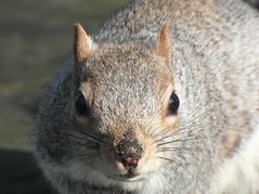 Inquisitive Gray squirrel (Happy Snapper 61) Tags: graysquirrel squirrel gtyarmouthcemetary norfolk