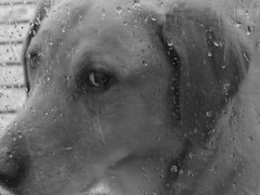 IMG_9215 (kennethkonica) Tags: yellowlab labrador daisy pet animaleyes animalplanet animal canonpowershot canon usa midwest america indiana indianapolis indy color mood fun hoosier random global canine rain weather
