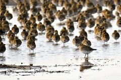 Golden Plovers Titchwell RSPB Norfolk g2 (2) (JohnMannPhoto) Tags: golden plovers titchwell rspb norfolk