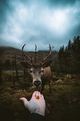 Person offer orange fruit to a brown deer (tatianaregan1) Tags: person offer orange fruit brown deer tatiana regan