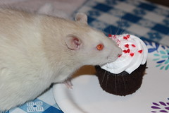 Twinkie 2/16/20 (Drowsy Mary) Tags: rat pet fairborn ohio 021620 twinkie