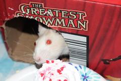 Pumpkin Spice 2/16/20 (Drowsy Mary) Tags: rat pet fairborn ohio 021620 pumpkin pumpkinspice