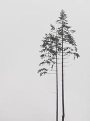 The fog (juliavaganova) Tags: nature minimal solitude tree foggy fog