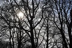 winter sun (conall..) Tags: sun bright tree nikon afs nikkor f18g lens 50mm prime primelens nikonafsnikkorf18g rowallane national trust saintfield walled garden northernireland backlit backlight intothelight sunny silhouette bare branches stark