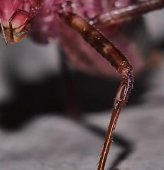 Katydid tympanum P1112614 (Steve & Alison1) Tags: dark blush katydid caedicia sp tettigoniidae mandalay rainforest airlie beach
