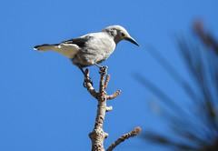 Clark's Nutcracker (Danielle_M_Bedics) Tags: clarksnutcracker bird birding birdwatching hike hiking cloudburstsummit coopercanyon angelesnationalforest