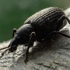 the beetle (henderson231280) Tags: macro beetle insect bug