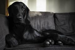 Poser (Boxertrixter) Tags: dog gundog bestfriend retriever flatcoatretriever family handsome ricoh ricohgriii relaxed hound pet