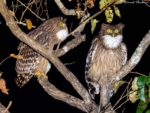 "Brown Fish Owl (Lifer) • <a style=""font-size:0.8em;"" href=""http://www.flickr.com/photos/59465790@N04/49549590117/"" target=""_blank"">View on Flickr</a>"
