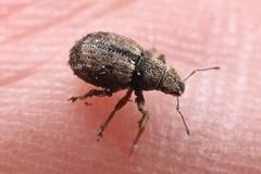 Strophosoma melanogrammum (lloyd177) Tags: strophosoma melanogrammum beetle wiltshire