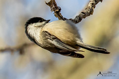Black-capped Chickadee (C7D0634) (matxutca (cindy)) Tags: willardbay utah birds feathers outdoors nature blackcappedchickadee one single perched feeding small
