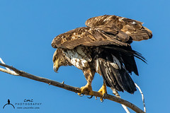 Juvenile Bald Eagle (C7D0395) (matxutca (cindy)) Tags: willardbay utah birds feathers outdoors nature baldeagle perched eagle single one juvenile