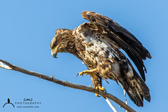 Juvenile Bald Eagle (C7D0382) (matxutca (cindy)) Tags: willardbay utah birds feathers outdoors nature baldeagle perched eagle single one juvenile