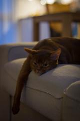 Goodbye Ferox :( (peterned) Tags: goodbye ferox abyssinian pedigree pet cat sorrel canon eos 7d 50mm march 2018