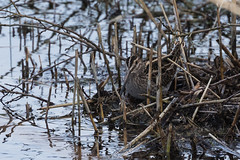Can you see me? (Sara@Shotley) Tags: snipe camouflage wetlands reeds rspb nature outside wildlife winter wirral cheshire burton canon 70300mm