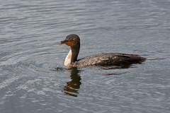 Cormorant (vguzman1120) Tags: bird birds birdsoftheeverglades everglades anhingatrail nature naturephotography birdphotography birding nikon nikond500 nikkor nikkor300mm