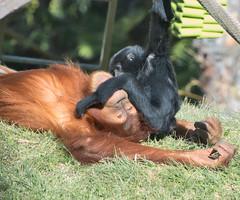 Orangutan Relents (petersonao) Tags: sandiegozoo sonyrx10m4 orangutan siamang