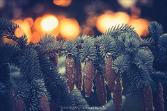 magic of sunset (pajus79) Tags: nikon d80 nikkor magic sunset sun tree bokeh light shadow photo nature detail fresh background decoration inhale soft west zapadání show through spruce silver cone bark drop dry color atmosphere christmas autumn winter needles magical shot silence peace room cool
